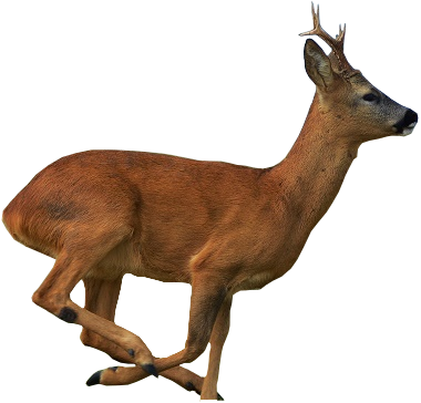 roe-deer-special